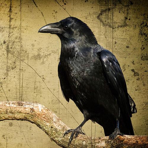 Ve stínu <br/>černé vrány